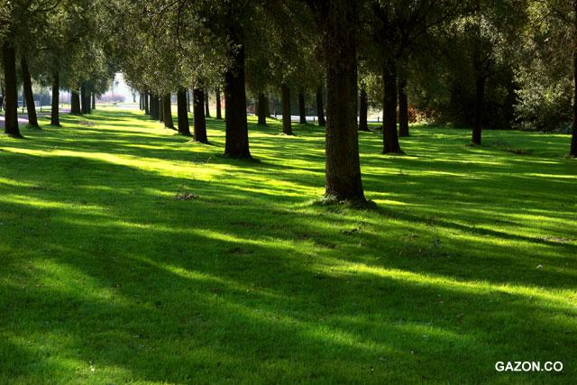 Рулонный газон выдерживает полутень (овсянница красная)
